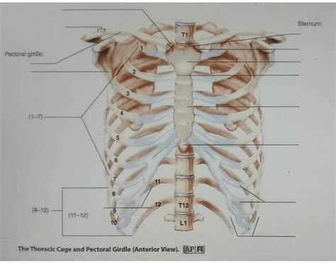 Thoracic Cage & Pectoral Gridle (Anterior View)