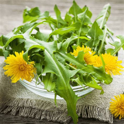 French Dandelion Seeds - Natural Seed Bank