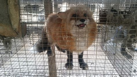 Fur-Farm Cruelty: Minks and Foxes Gassed en Masse