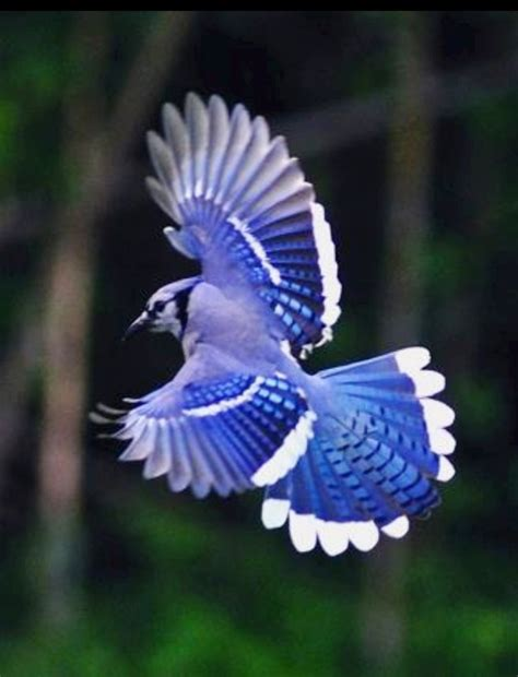 Aruthredd: The blue jay is actually a member of the crow
