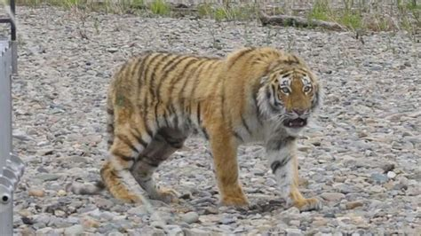 Tiger That Wandered a Russian City Is Returned to the Wild