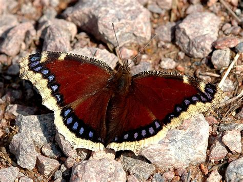 Mourning Cloak Butterfly: Identification, Facts, & Pictures