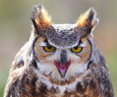 Great Horned Owl Head On | I photographed this close up