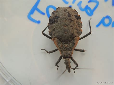 Kissing Bugs and Chagas Disease in the U