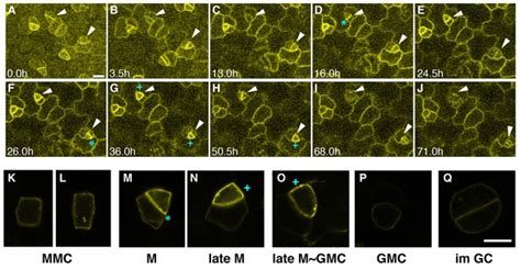 Autocrine regulation of stomatal differentiation potential